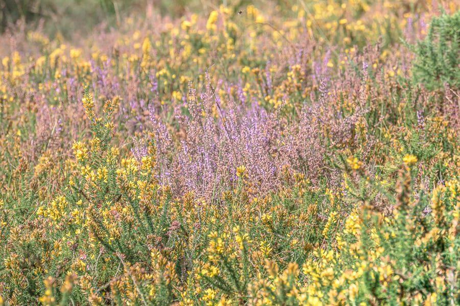 Heather and gorse flowering on heathland
