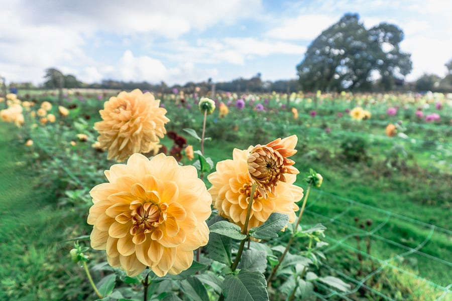 West Sussex Withypitts Dahlias