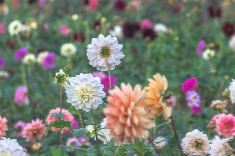 Withypitts Dahlia varieties