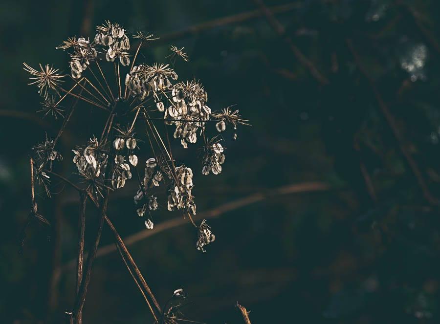 Wild flower path umbel seeds shadows