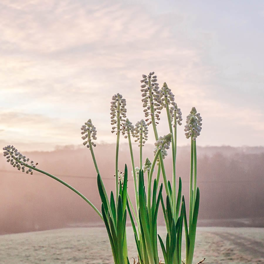 White muscari at sunrise