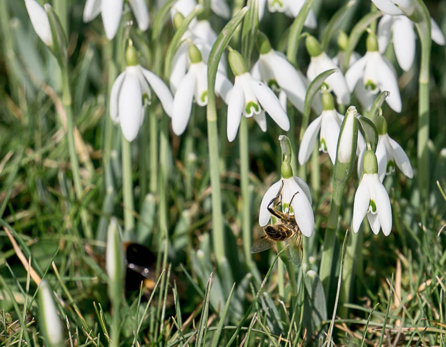 Snowdrop facts beeds and nectar