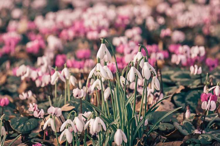 Snowdrops – 10 fun facts to tell kids