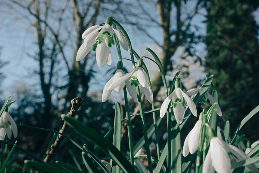 Snowdrop facts markings