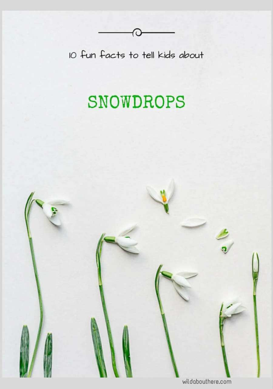 Snowdrops 10 fun facts to tell kids