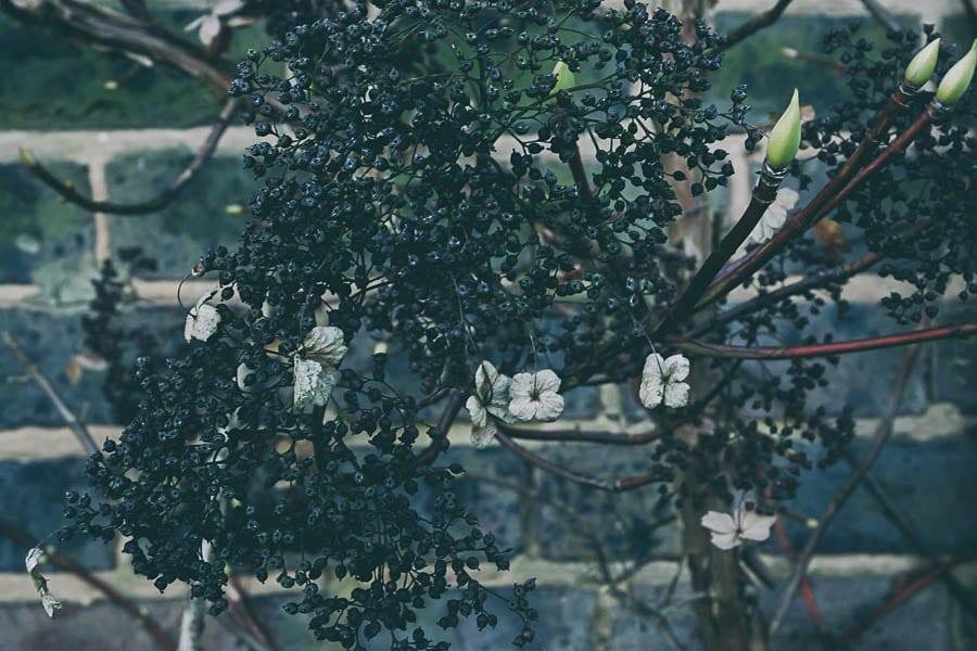 Winter garden climbing hydrangea