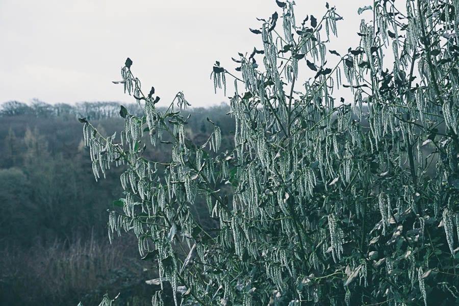 Winter garden garrya landscape