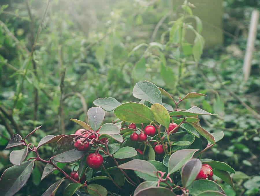 Winter garden gaultheria procumbens