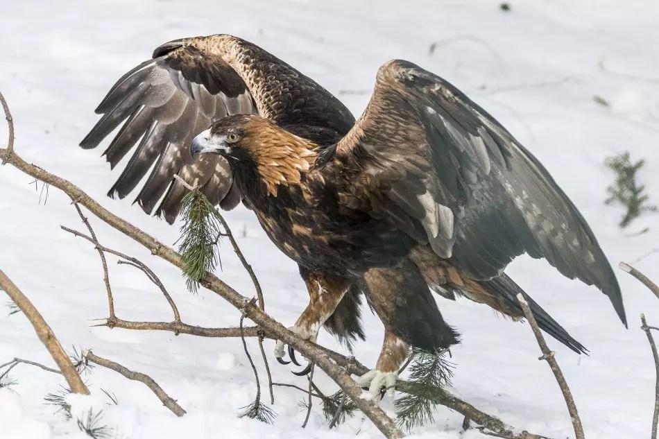 Eagle - Ranua Wildlife Park Tour
