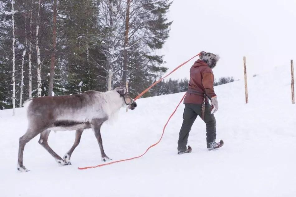Reindeer husbandry