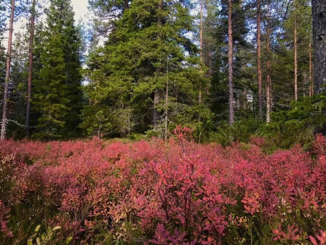 Ruska in Lapland