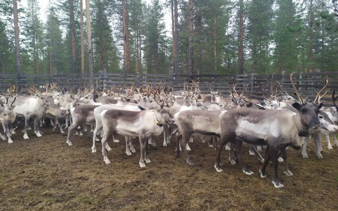 One Day with the Reindeer Herders