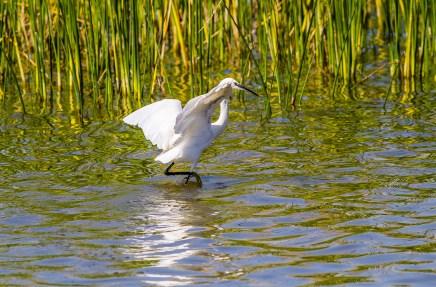 Egret Fishing-5