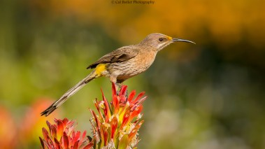 cape-sugarbird-2