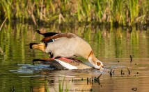 mating-egyption-geese-2