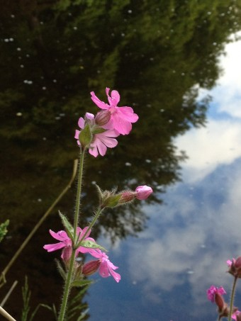 Campion in the Cairngorms