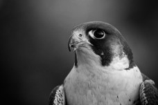 Peregrine in the Cairngorms