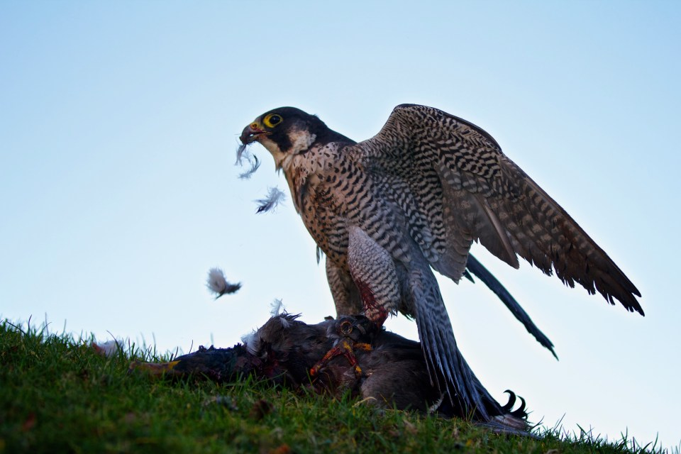 Peregrine on a wildlife tour