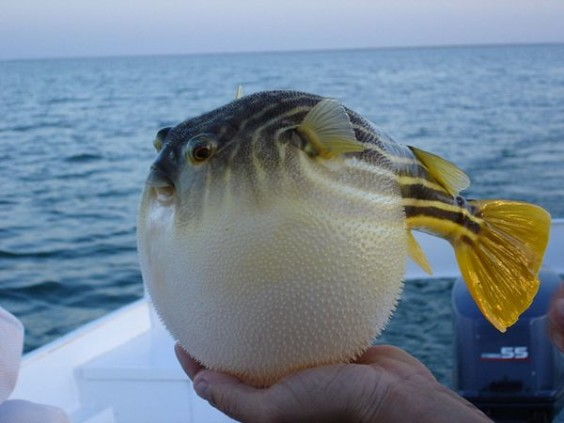 Pufferfish - Pufferfish is one of the most poisonous animals in the ocean – to the point where fishermen refuse to touch them without thick gloves.