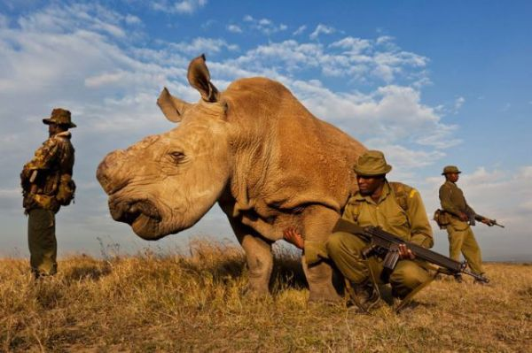 Anti-poaching team protecting a Northern White Rhino in Kenya