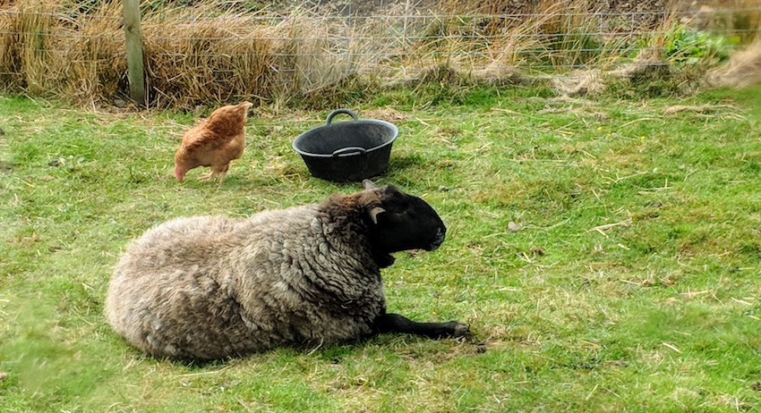 Skye sheep and hen