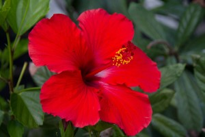 hibiscus-flower-pictures