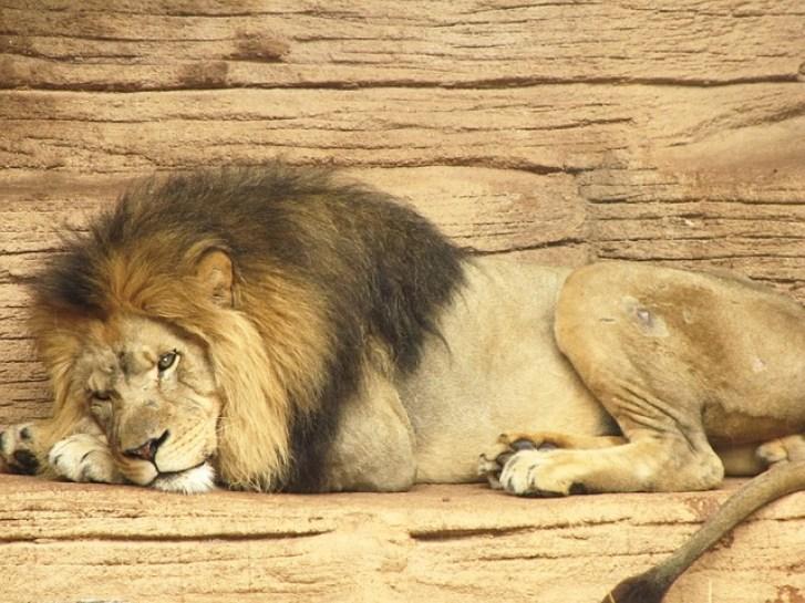 lion-21216_640