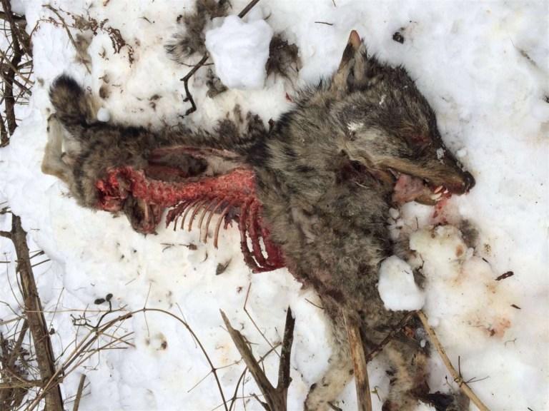 wolfskadaver graubünden