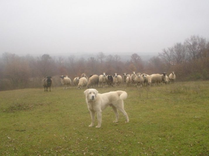 Herdenschutzhund Foto: Dobermannp