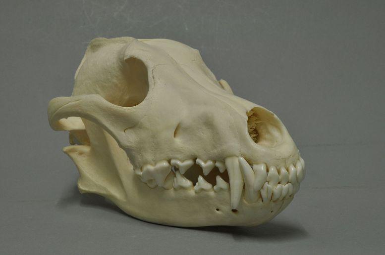 Schädel vom Wolf Foto: Klaus Rassinger und Gerhard Cammerer, Museum Wiesbaden