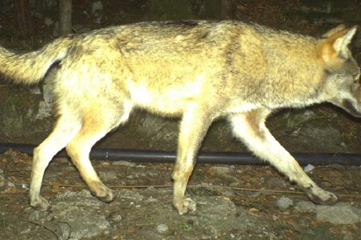Wolf Uri