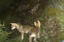 Junge Wölfe Calanda