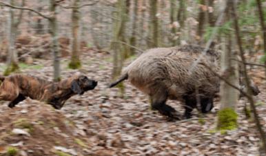 Tierquälerei im Wildschweingatter