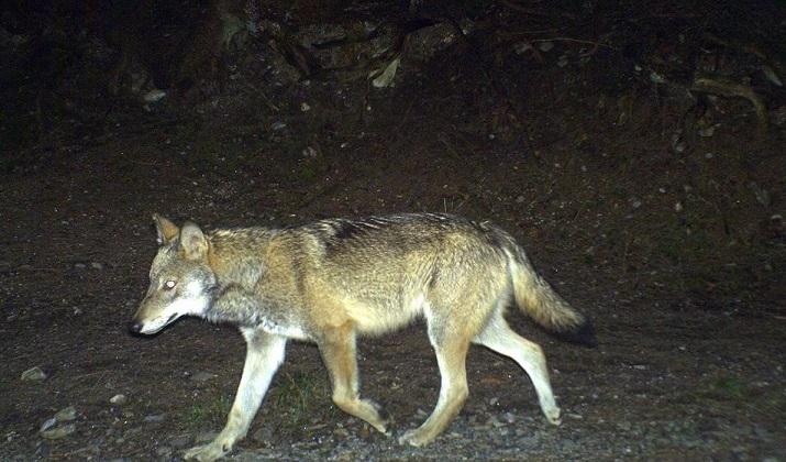 Wölfe helfen Hirschpopulation zu regulieren