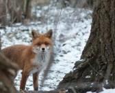 Aktionsbündnis fordert ein Ende der Fuchsjagd
