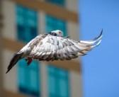 Kamikaze-Tauben: Obergericht verschärft Strafe