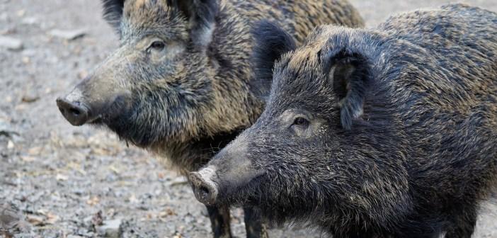 Massenvernichtung von Wildschweinen wäre irrsinnig und gefährlich