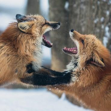 Schluss mit der Fuchsjagd in der Schweiz