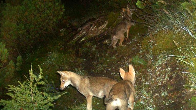 Wolfsabschüsse in Graubünden