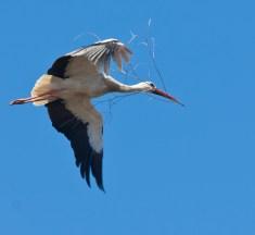 Erleben und melden Sie das Eintreffen der Zugvögel