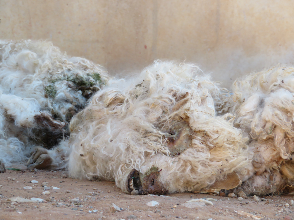 Brutale Schur von Angoraziegenbabys für Mohairwolle in Südafrika.