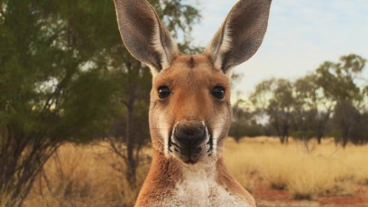 Kangaroo CU -®Hopping Pictures