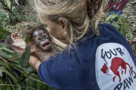 """Indonesia, Borneo, East Kalimantan   2017 08 03   A FOUR PAWS team and the Indonesian partner organization Jejak Pulang have taken an orphaned orangutan baby from the Indonesian authorities into their care. The orangutan baby named """"Gonda"""" is the first orphan who can move into the new orangutan forest school. Here with Signe Preuschoft."""
