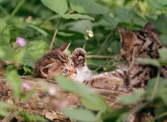 Goldau, Schwyz, Schweiz - 22. Mai 2018: Junge Wildkatzen am spielen im Natur- und Tierpark Goldau