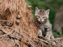 Goldau, Schwyz, Schweiz - 24. Mai 2018: Junge Wildkatzen am spielen im Natur- und Tierpark Goldau