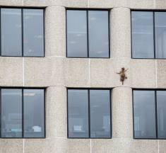 Hier klettert ein Waschbär ein UBS Hochhaus hinauf