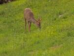 Todesursache beim Reh ist zu 66 % die Jagd