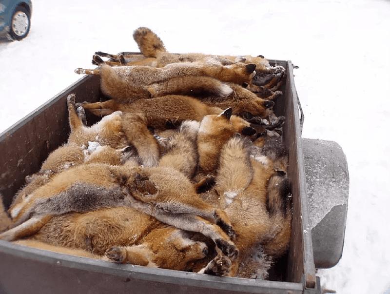 Deutschland: Steuergelder für Pelzprojekt der Jagdverbände