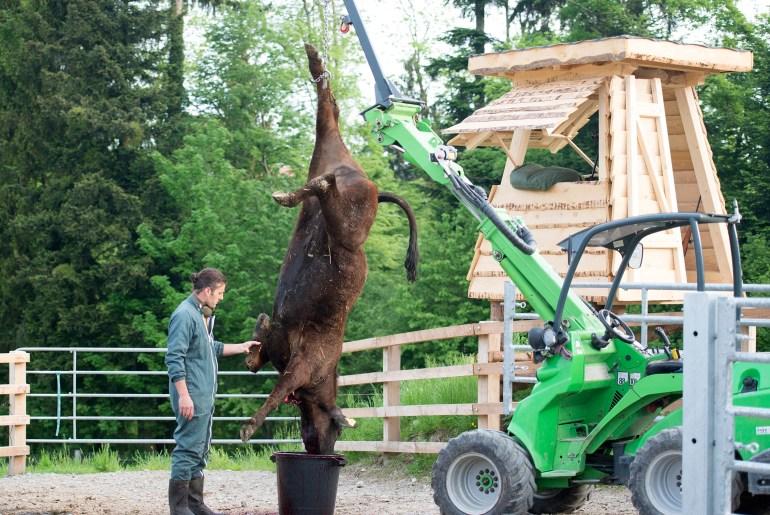 Weideschlachtung Ist dies noch Tierschutz