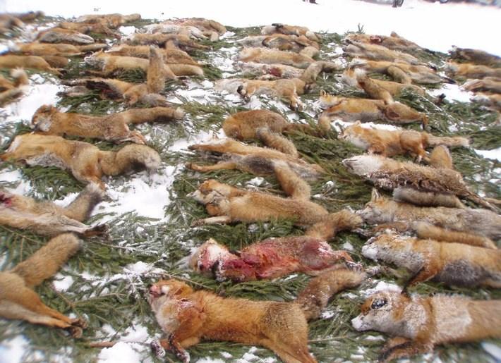 Wildtierschutz Deutschland kritisiert die Fuchsjagd als tierquälerisch. Sozialstrukturen werden zerstört, Welpen wachsen ohne den väterlichen Versorger auf, die natürliche Geburtenbeschränkung weicht dem Elend der massenweisen Fortpflanzung.